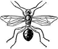 fourmi rousse-femelle Stock Photos