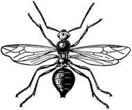 fourmi rousse-mâle Royalty Free Stock Photos