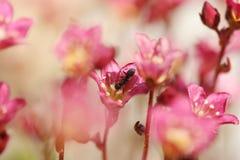Fourmi sur la fleur rouge Images stock