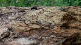 Fourmi sur la roche Photographie stock libre de droits