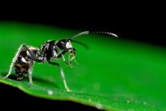 Fourmi sur le vert Photo libre de droits