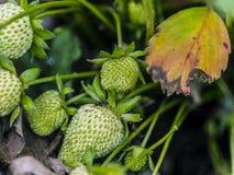 Fourmi sur une fraise verte Photographie stock