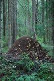 Fourmilère dans la forêt Image stock