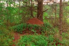 Fourmilère dans la forêt Images libres de droits