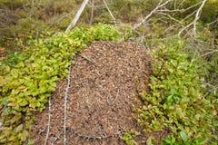 Fourmilère dans la forêt Photo libre de droits