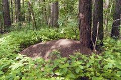 Fourmilière dans la forêt de pin images libres de droits