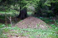 Fourmilière dans Taganay Photo libre de droits