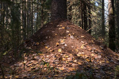 Fourmilière dans une forêt de pin Images libres de droits