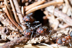 Fourmis Photos stock