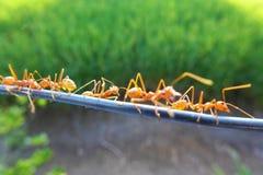 fourmis Photos libres de droits