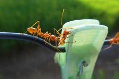 fourmis Photo libre de droits