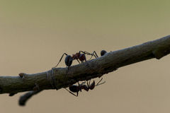 fourmis Image stock