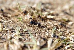Fourmis arrangeant des nids images libres de droits