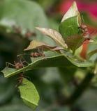 Fourmis assumant des pièces de feuille à leur nid Photo libre de droits