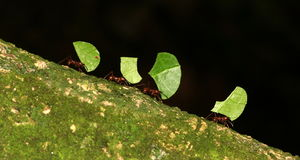 fourmis coupant la lame Photographie stock libre de droits