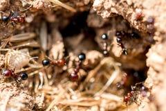 Fourmis de Brown dans leur nid Photographie stock libre de droits