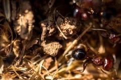 Fourmis de Brown dans leur nid Image stock