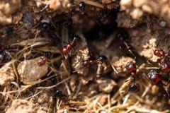 Fourmis de Brown dans leur nid Photos stock