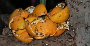 Fourmis de Leafcutter - colombica d'Atta Photo stock