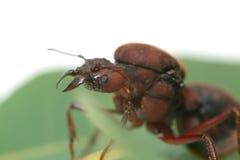 Fourmis de reine sur la feuille verte Image libre de droits