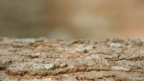 Fourmis de tisserand marchant sur l'écorce d'arbre banque de vidéos