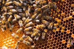 Fourmis, fin vers le haut de la vue des abeilles de travail sur le nid d'abeilles Photos stock