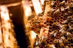 Fourmis, fin vers le haut de la vue des abeilles de travail sur le nid d'abeilles Photo libre de droits