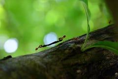 Fourmis grimpant à des arbres Photographie stock