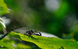 Fourmis noires de jardin Images stock