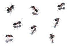 Fourmis noires XXXL Photographie stock libre de droits