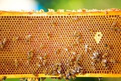 Fourmis produisant le miel Photographie stock libre de droits