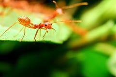 Fourmis rouges Photo stock