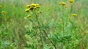 Fourmis sur une fleur jaune banque de vidéos