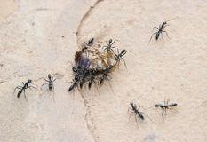 Fourmis transportant un cancrelat. Photos stock