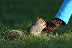 Fourniture de la nourriture pour les écureuils en hiver Photos stock