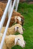 Fourrage de moutons dans le pâturage ensoleillé d'été Photos libres de droits