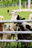 Fourrage de moutons dans le pâturage ensoleillé d'été Photo libre de droits