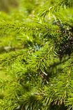 Fourrure-arbre épineux Photos libres de droits