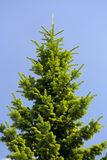 Fourrure-arbre Image libre de droits