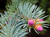Fourrure-arbre Photos libres de droits
