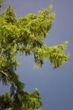 Fourrure-arbre avant un orage Photo stock