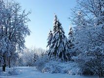 Fourrure-arbre de l'hiver dans la forêt photographie stock libre de droits