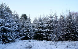 Fourrure-arbres dans une neige. Image stock