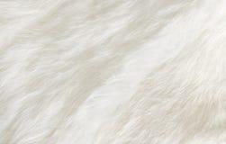 Fourrure blanche photos libres de droits