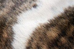 Fourrure Brindle et blanche photo stock