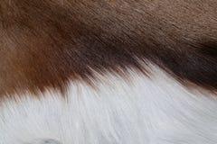 Fourrure d'antilope Images libres de droits