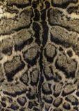Fourrure d'un léopard opacifié Images libres de droits