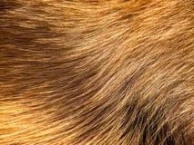 Fourrure de chien (12) Photo libre de droits