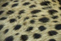 Fourrure de guépard Photo libre de droits