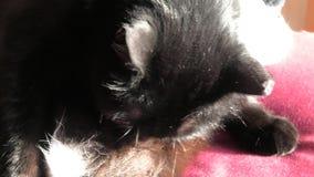 Fourrure de nettoyage de chat noir banque de vidéos